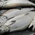 Coronavirus to severely hit global shrimp and salmon production
