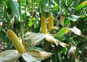 CSIR produce immune boosting maize varieties