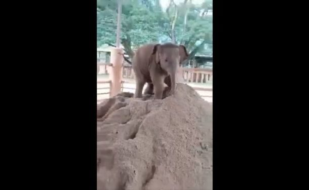 Watch Adorable Baby Elephant Playing on Heap of Sand, Video Goes Viral