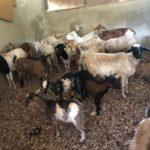 Low patronage of livestock at Bolgatanga