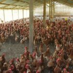 Producers of poultry products lament shortage of feed