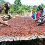 China cocoa no threat to Ghana - Expert