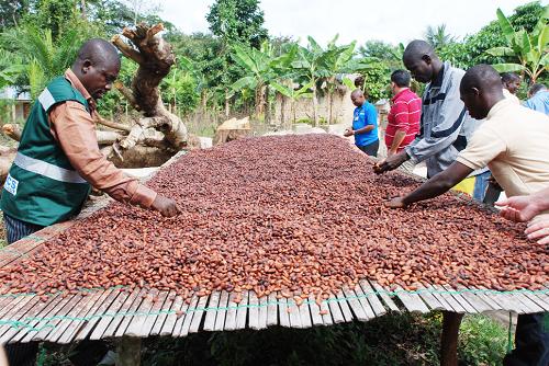 China cocoa no threat to Ghana - Expert