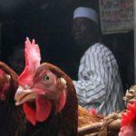 Ghana bans imports of chicken from Nigeria, Togo over bird flu