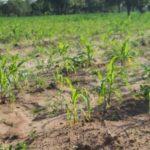 Maize farmers in Sissala communities lament shortage of fertilizer