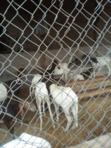 PHOTOS: Two persons arrested for stealing 26 Goats