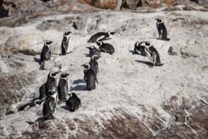 Bees kill over 60 endangered South Africa penguins