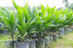 15,000 Free oil palm seedlings for New Juaben farmers